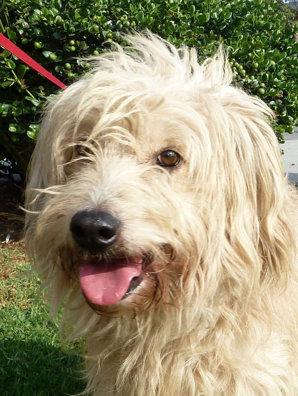 bearded collie terrier mix   imgarcade     online